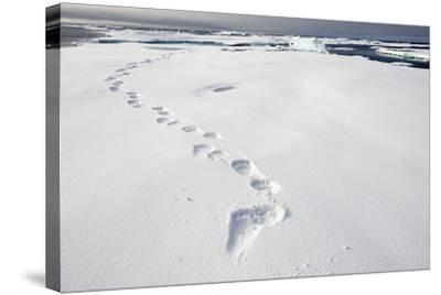 Polar Bear Tracks in Fresh Snow at Spitsbergen Island-Paul Souders-Stretched Canvas Print