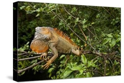 Green Iguana in a Tree in Costa Rica-Paul Souders-Stretched Canvas Print