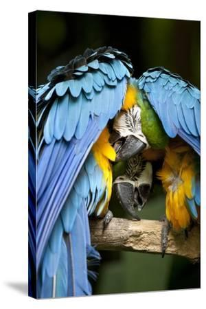 Blue-And-Gold Macaws at Zoo Ave Park-Paul Souders-Stretched Canvas Print
