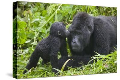 Baby Gorilla Kisses Silverback Male--Stretched Canvas Print