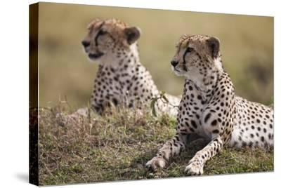 Cheetahs Resting in Grass-Paul Souders-Stretched Canvas Print
