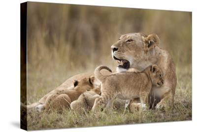 Lioness Nursing Cubs in Masai Mara National Reserve-Paul Souders-Stretched Canvas Print