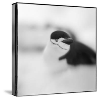 Chinstrap Penguin, Antarctica-Paul Souders-Stretched Canvas Print