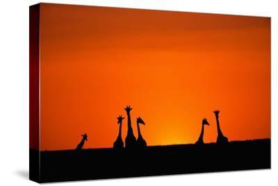 Giraffe Silhouettes at Sunset-Paul Souders-Stretched Canvas Print