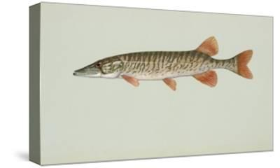 Redfin Pickerel--Stretched Canvas Print