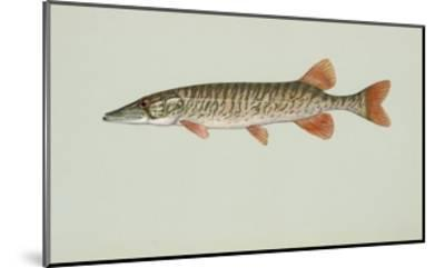 Redfin Pickerel--Mounted Giclee Print