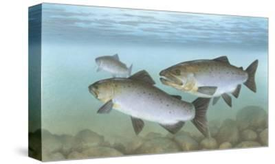 Pacific Salmon--Stretched Canvas Print