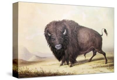 Bull Buffalo-George Catlin-Stretched Canvas Print