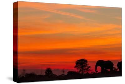 Elephant at Dusk, Nxai Pan National Park, Botswana-Paul Souders-Stretched Canvas Print