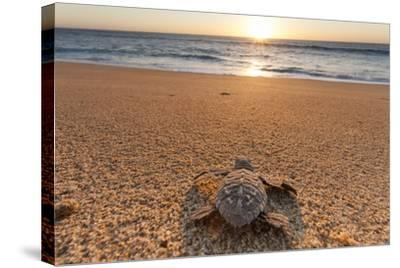 Olive Ridley Turtle Hatchling, Baja, Mexico-Paul Souders-Stretched Canvas Print