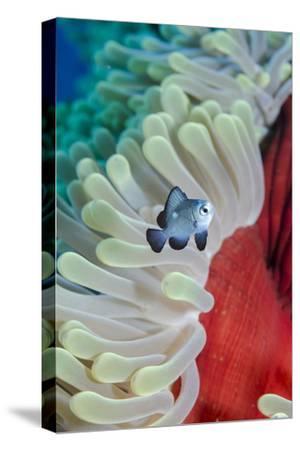 Three-Spot Damsel Fish (Dascyllus Trimaculatus)-Mark Doherty-Stretched Canvas Print