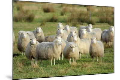 Diepholzer Moorschnucke (Moorland Sheep) (Ovis Aries)-Nick Upton-Mounted Photographic Print