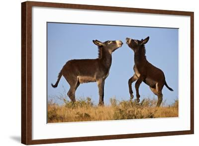 Two Young Wild Burro (Donkey) (Equus Asinus) (Equus Africanus Asinus) Playing-James Hager-Framed Photographic Print