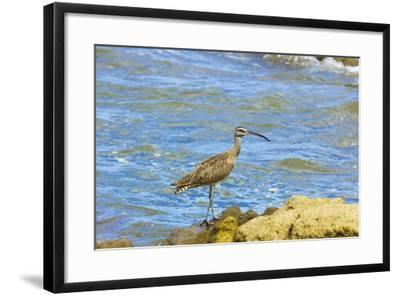 Long-Billed Curlew (Numenius Americanus) on Playa Guiones Beach at Nosara-Rob Francis-Framed Photographic Print