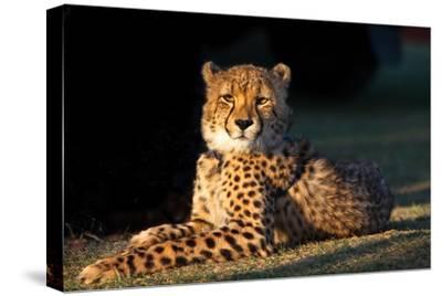 Regal Cheetah Basking in the Afternoon Sun at Umkondo Cheetah Rehabilitation Centre Near Mosselbay-Fiona Ayerst-Stretched Canvas Print