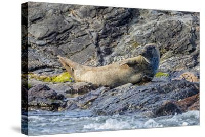 Harbour Seal (Common Seal) (Phoca Vitulina)-Michael Nolan-Stretched Canvas Print