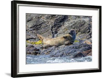 Harbour Seal (Common Seal) (Phoca Vitulina)-Michael Nolan-Framed Photographic Print
