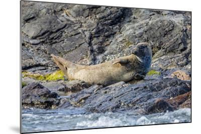Harbour Seal (Common Seal) (Phoca Vitulina)-Michael Nolan-Mounted Photographic Print