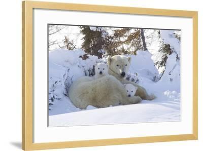Polar Bear (Ursus Maritimus) and Cubs-David Jenkins-Framed Photographic Print