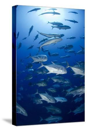 Giant Trevally (Caranx Ignobilis) Shoal Schooling-Mark Doherty-Stretched Canvas Print