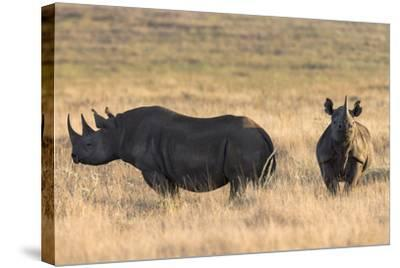 Black Rhinos (Diceros Bicornis), Lewa Wildlife Conservancy, Laikipia, Kenya, East Africa, Africa-Ann and Steve Toon-Stretched Canvas Print