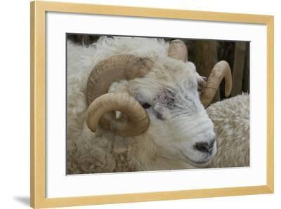 Dartmoor Sheep-James Emmerson-Framed Photographic Print