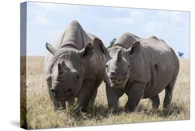 Two Rhinoceros, Ol Pejeta Conservancy, Laikipia, Kenya, East Africa, Africa-Ann and Steve Toon-Stretched Canvas Print