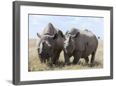Two Rhinoceros, Ol Pejeta Conservancy, Laikipia, Kenya, East Africa, Africa-Ann and Steve Toon-Framed Photographic Print