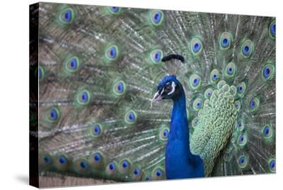 Peacock, Cotswold Wildlife Park, Costswolds, Gloucestershire, England, United Kingdom, Europe-Charlie Harding-Stretched Canvas Print