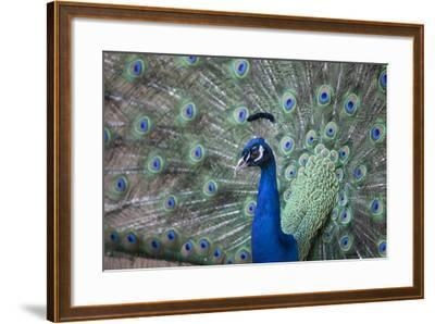 Peacock, Cotswold Wildlife Park, Costswolds, Gloucestershire, England, United Kingdom, Europe-Charlie Harding-Framed Photographic Print