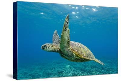 Green Sea Turtle (Chelonia Mydas) Underwater, Maui, Hawaii, United States of America, Pacific-Michael Nolan-Stretched Canvas Print