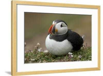 Puffin, Wales, United Kingdom, Europe-Andrew Daview-Framed Photographic Print