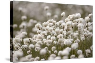 Harestail Cottongrass in Flower, Flow Country, Caithness, Highland, Scotland, UK, May-Peter Cairns-Stretched Canvas Print