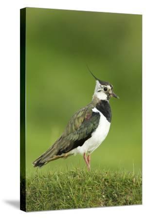 Lapwing (Vanellus Vanellus) Adult in Breeding Plumage, Scotland, UK, June-Mark Hamblin-Stretched Canvas Print