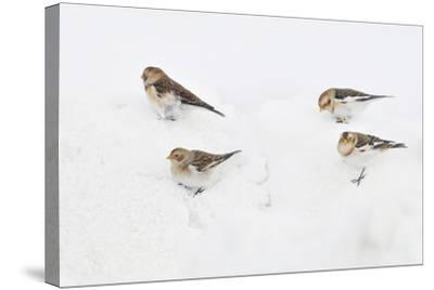 Snow Buntings (Plectrophenax Nivalis) Searching for Food in Snow, Cairngorms Np, Scotland, UK-Fergus Gill-Stretched Canvas Print