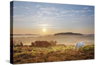 New Forest Pony Grazing on Latchmore Bottom at Dawn, the New Forest National Park, Hampshire, UK-Guy Edwardes-Stretched Canvas Print