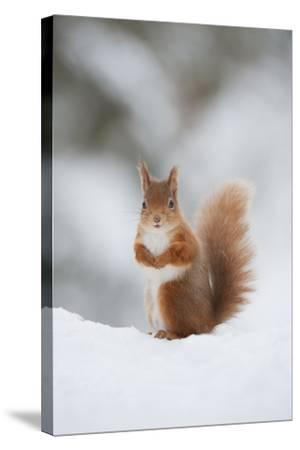 Red Squirrel (Sciurus Vulgaris) Adult in Snow, Cairngorms National Park, Scotland, February-Mark Hamblin-Stretched Canvas Print