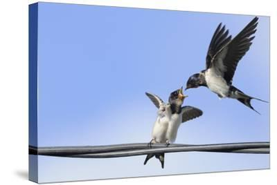 Barn Swallow (Hirundo Rustica) Feeding a Fledgling on a Wire. Perthshire, Scotland, September-Fergus Gill-Stretched Canvas Print