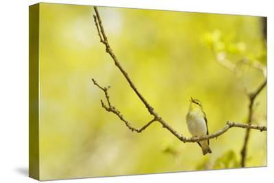 Wood Warbler (Phylloscopus Sibilatrix) Singing from Oak, Atlantic Oakwoods of Sunart, Scotland-Fergus Gill-Stretched Canvas Print
