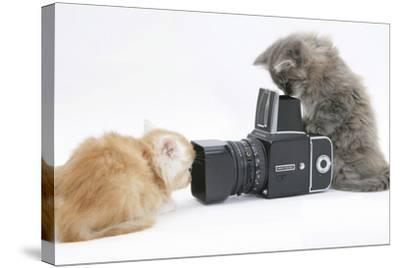 Two Maine Coon Kittens, 8 Weeks, Playing with a Hasselblad Camera-Mark Taylor-Stretched Canvas Print
