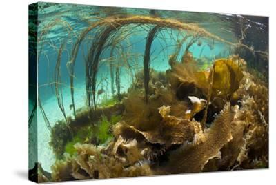 Thong Seaweed (Himanthalia Elongata) and Various Other Seaweeds in Shallows, Inner Hebrides, UK-Alex Mustard-Stretched Canvas Print