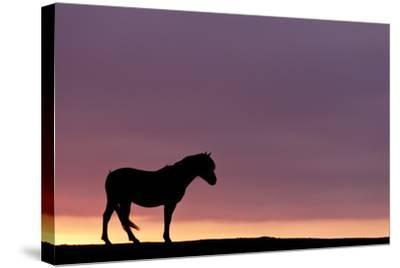 Silhouetted Dartmoor Pony (Equus Caballus) at Sunrise, Combestone Tor, Dartmoor Np, Devon, UK-Ross Hoddinott-Stretched Canvas Print