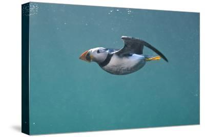 Puffin (Fratercula Arctica) Swimming Underwater, Farne Islands, Northumberland, UK, July-Alex Mustard-Stretched Canvas Print