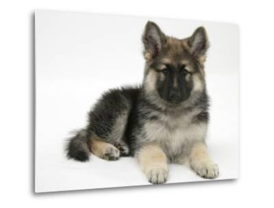 German Shepherd Dog Bitch Pup, Echo, Lying with Head Up-Mark Taylor-Metal Print