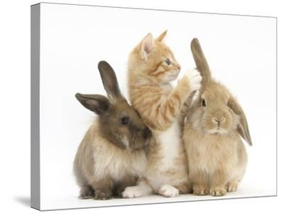 Ginger Kitten, 7 Weeks, Playing with Ear of Young Lionhead-Lop Rabbits-Mark Taylor-Stretched Canvas Print