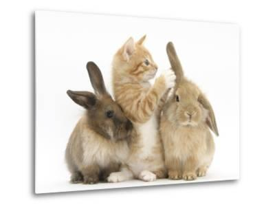 Ginger Kitten, 7 Weeks, Playing with Ear of Young Lionhead-Lop Rabbits-Mark Taylor-Metal Print