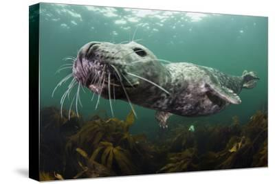 Female Grey Seal Juvenile Swimming over Kelp, Off Farne Islands, Northumberland-Alex Mustard-Stretched Canvas Print