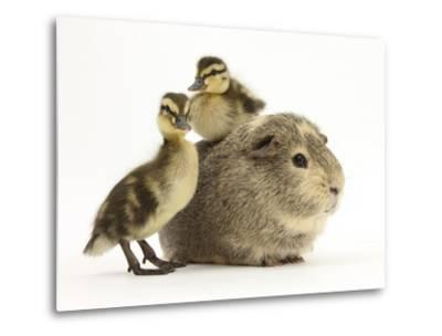 Guinea Pig with Two Mallard Ducklings, One Sitting on its Back-Mark Taylor-Metal Print