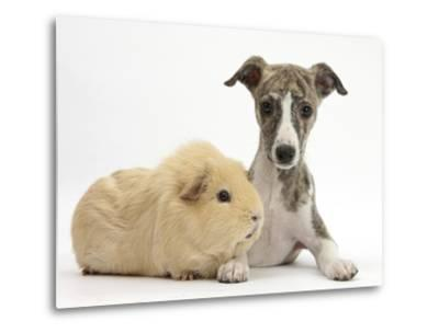 Brindle-And-White Whippet Puppy, 9 Weeks, with Yellow Guinea Pig-Mark Taylor-Metal Print