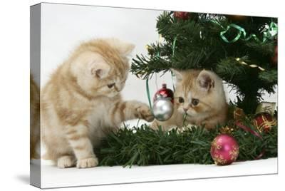 Two Ginger Kittens Playing with Decorations in a Christmas Tree-Mark Taylor-Stretched Canvas Print